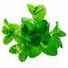 Fresh mint, 50 g